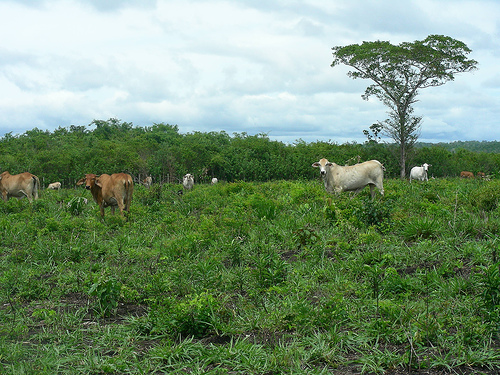 A tropical Forest that was taken down for use of cattle.  Look at the cattle and notice the build- tall but skinny and more than likely not grained properly.