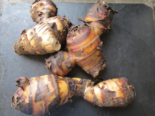 Harvest a Canna Lily root, and break it into 3 or 3 pieces to fit into a large pot