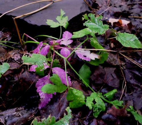 some kind of purple leaves