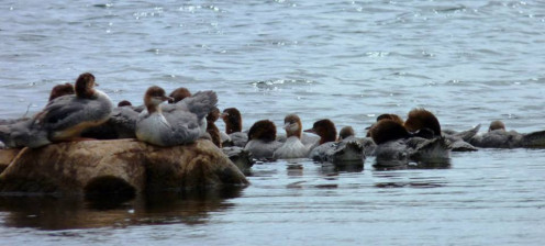 a crowd of Common Mergansers