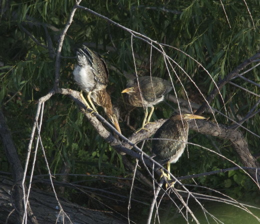 Three young Green Herons out of four