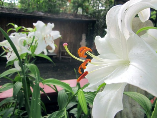 Hot tub planter: a lovely lily. Photo by timorous