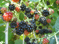 How To Pick Wild Blackberries - A Guide to Harvesting