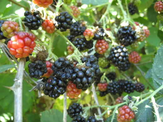 The darkest blackberries are ripe, and the red and green ones are not
