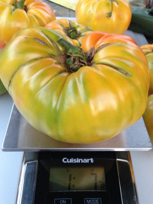 1.5 pound Gold Medal tomato is the sweetest tomato you ever tasted.