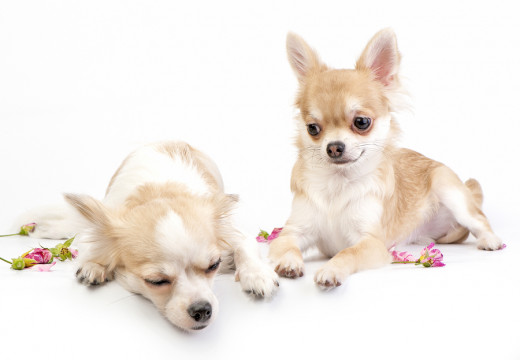 These are not my Chihuahuas. They are stunt Chihuahuas