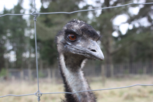 Howard - the Guard Emu!  He liked to stick his head out of the fence at us.  Not sure if we were being greeted or shooed away!