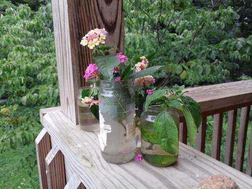 lantana cuttings rooting for next year's garden