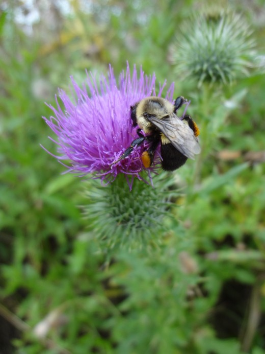 A Hungry Bee on a Field Thistle