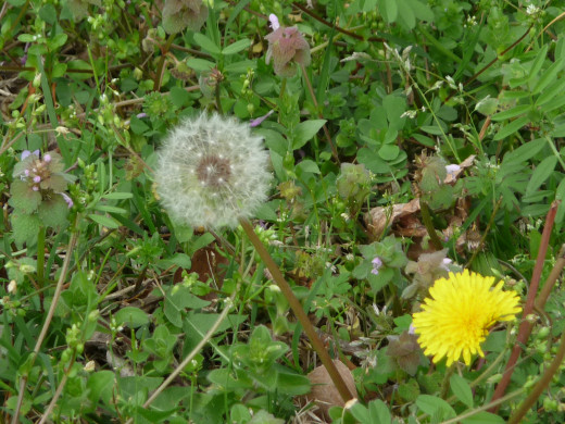 Dandelion Puff Ball and Flower