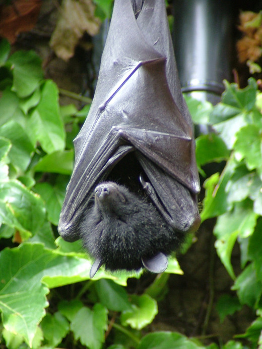 Fruit bats are said to be carrier of Ebola virus