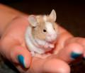 Domestic Pets: Mice