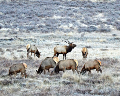 How to get elk talking when they have been over pressured by hunting.