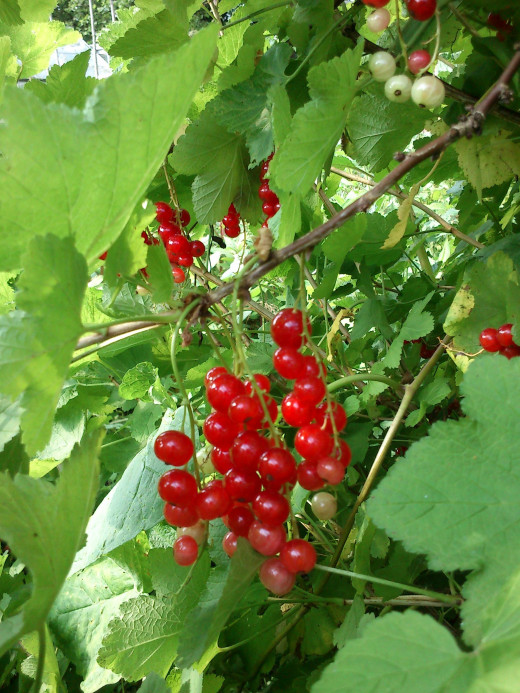 My home grown redcurrants