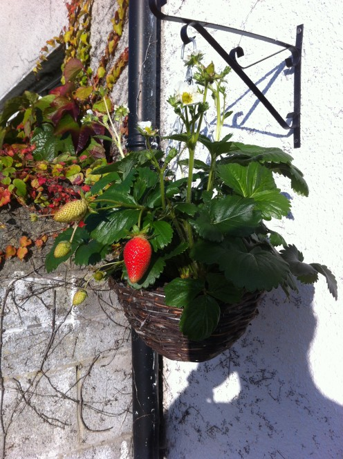 one of my strawberry baskets
