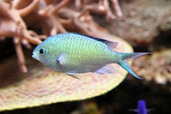 Saltwater aquarium fish: the blue green reef chromis