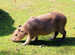 Coming to a pond near you: the capybara