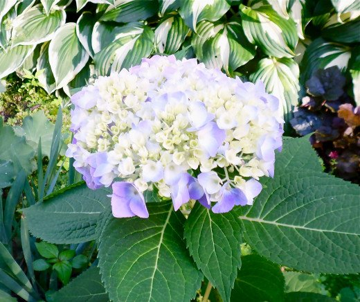 The Hydrangea looks so pretty as the flowers are opening