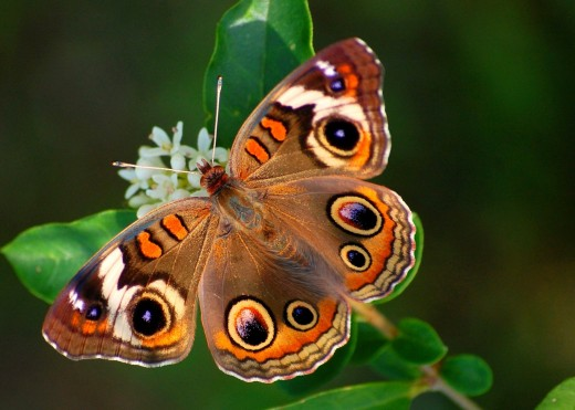Common Buckeye butterfly photo by Bron Praslicka