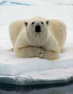 Polar Bear laying in the snow.