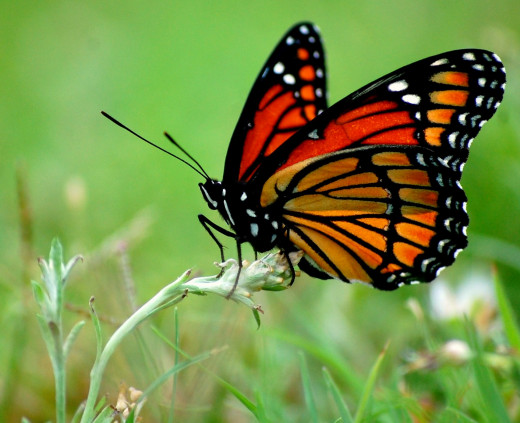 Viceroy butterfly photo by Bron Praslicka
