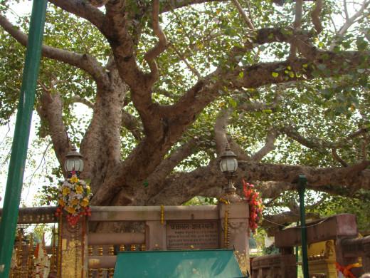 The Bodhi Tree, Bodh Gaya