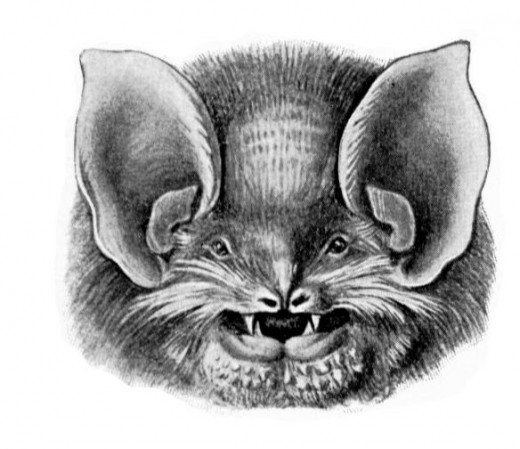 Mexican funnel-eared bat (Natalus stramineus)