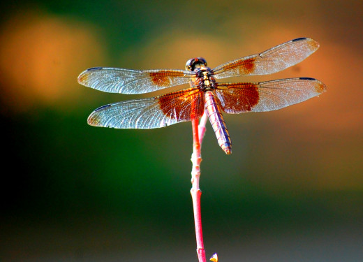 Widow Skimmer dragonfly photos by Bron Praslicka