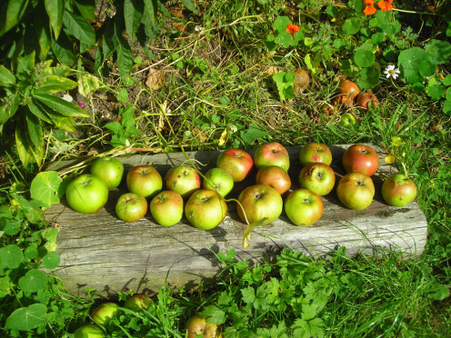 Newly fallen apples on the ground