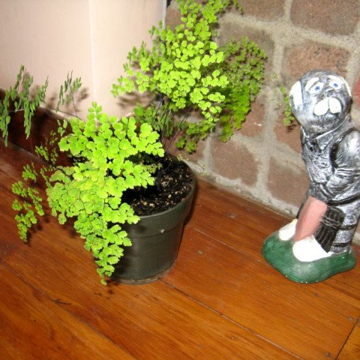 This  Maidenhair Fern is a new one I'm growing from a seed taken from under the fern leaves. It is in a shelter area beside bricks which surround the fireplace.