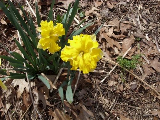 My Friend Sara (F Nyikos 2010) my only registered daffodil named for Sara Kinne