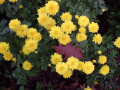 Fall Color - Chrysanthemums