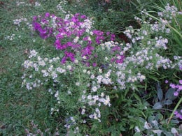 Asters come in a variety of colors