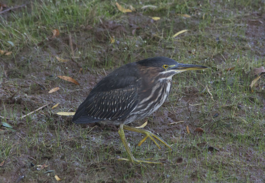 Adult Green Heron #2, Childless