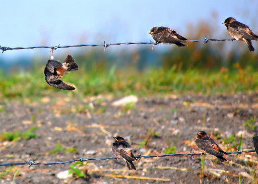 Young Cliff Swallows photo by Bron Praslicka