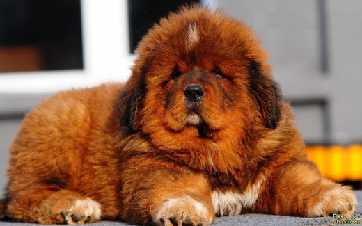 Red Haired Tibetan Mastiff Puppy