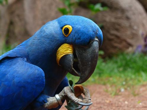 Blauaras Parrot Hyazinth-Ara Anodorhynchus Bird