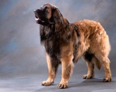 Leonberger - Fully Grown