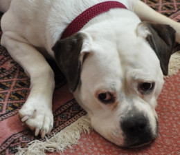 Holly the white boxer cross