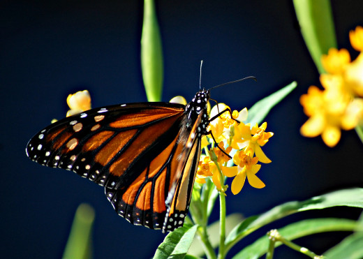 Monarch on Mexican Milkweed photo by Bron Praslicka