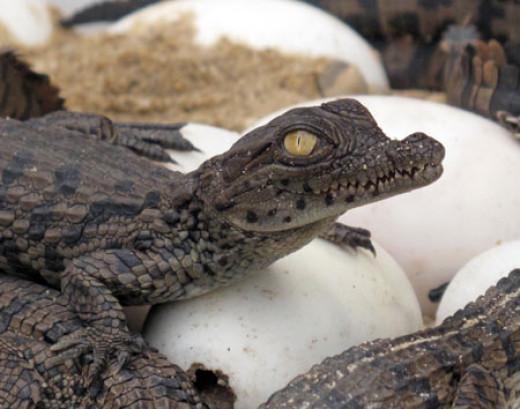 Nile crocodile hatching.