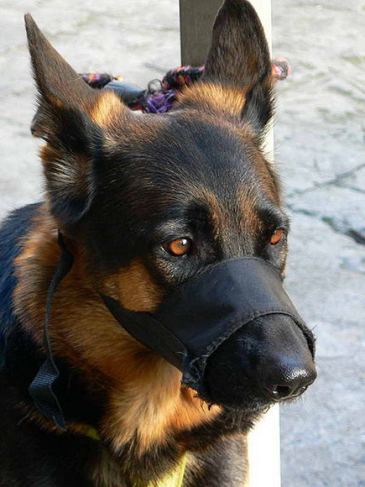 This dog's nylon muzzle shows some wear-and-tear; it is likely used for everyday use and exercise, which is not advised. Notice how the tapering end restricts the shepherd from opening its mouth enough to pant, and how the sides restrict airflow.