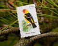 Birds by Mel - Western Tanager Stamp, Natural History Facts and Personal Observations
