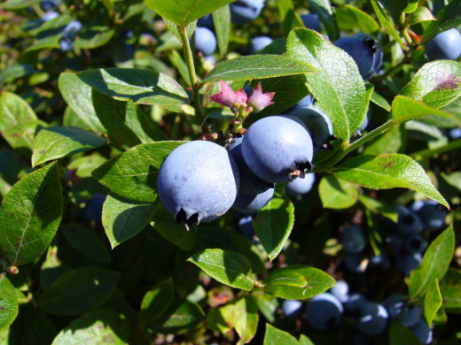 Wild blueberries are rich in chemicals called antioxidants which fight oxidation.