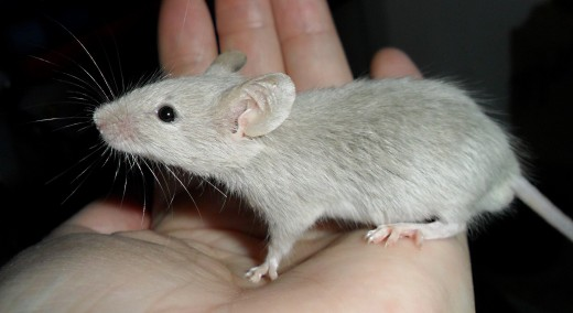Telomerase has reversed aging in genetically engineered mice.