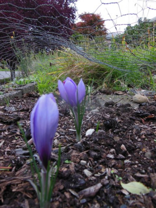The bulbs can take a couple of weeks for all to open, depending on your weather and how many bulbs you have planted.  Harvest daily until done.