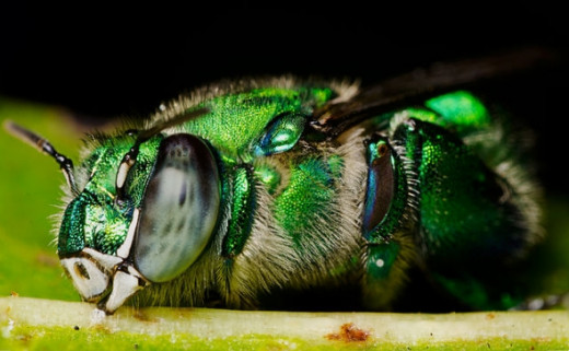 An orchid bee, Euglossa viridissima sleeping on a leaf. Miramar Florida, by Eframgoldberg, licensed under CC BY-SA 3.0