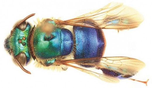 Euglossa cyanura male, by Ismael A. Hinojosa-D� & Michael S. Engel, licensed under CC BY 3.0