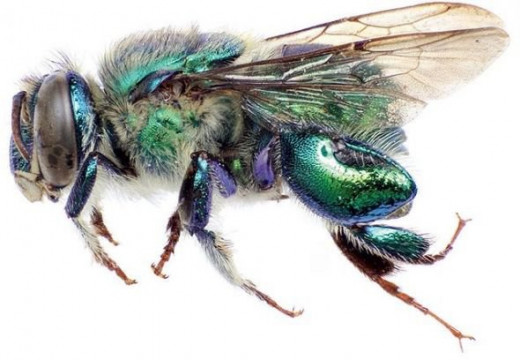 Euglossa obrima male, a new species of orchid bee from Mesoamerica, by Ismael A. Hinojosa-D�az, Gabriel A.R. Melo, Michael S. Engel, licensed under CC BY 3.0
