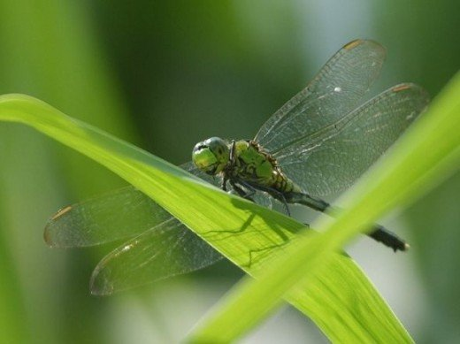 Great photo of a dragonfly taken by Jon Sullivan, who has kindly put it in the public domain.